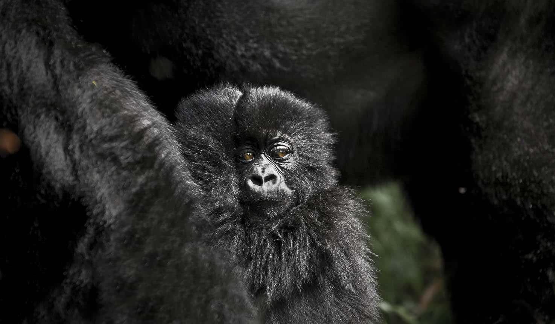 Ruhija Gorilla Tracking