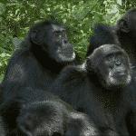 8 days Rwanda Primate Safari