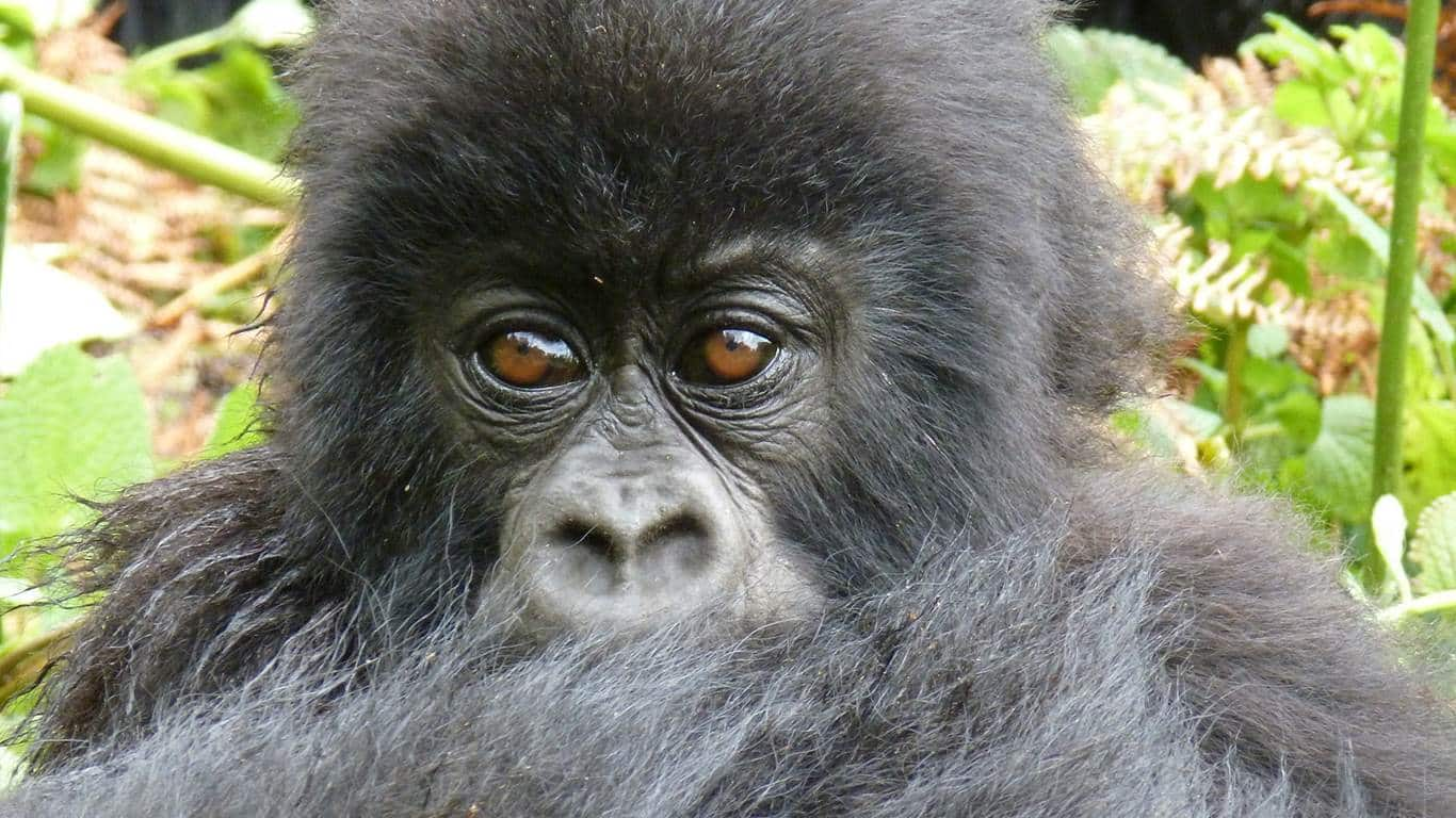 13 days great wildlife primates safari