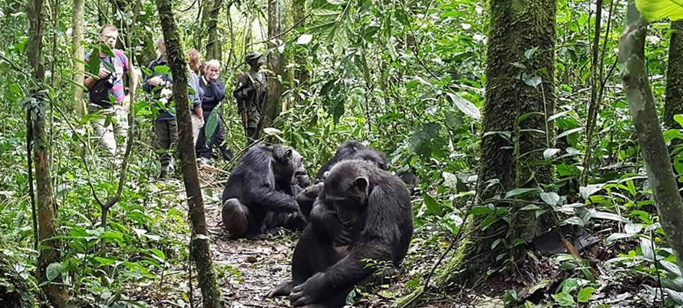 Chimpanzee habituation in Kibale forest national park