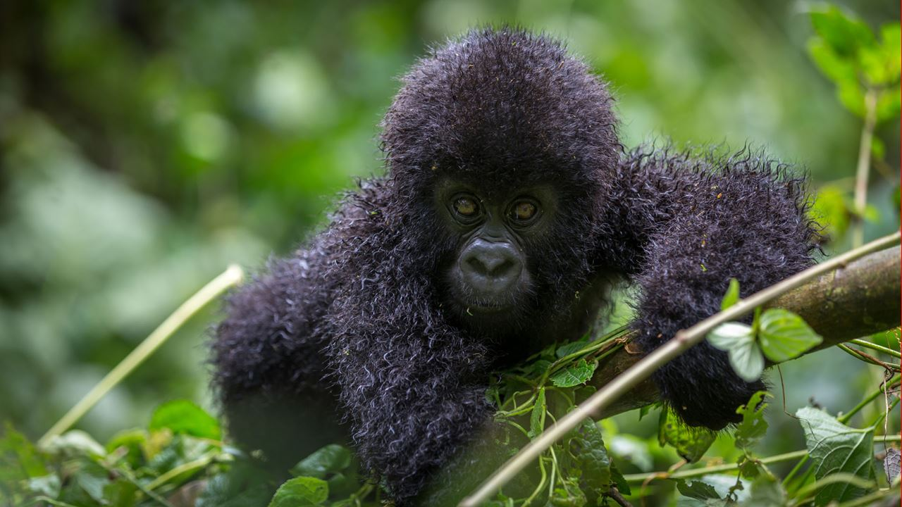 3 days mountain gorilla tracking tour