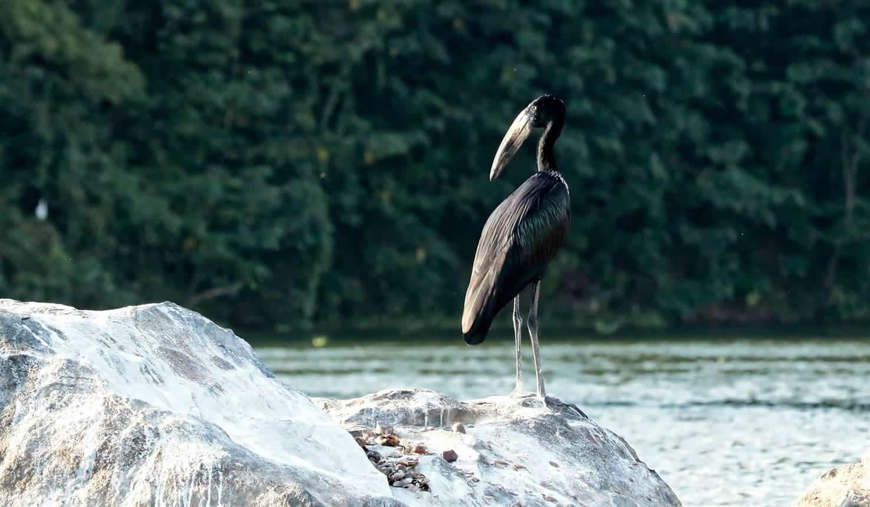 Uganda birds