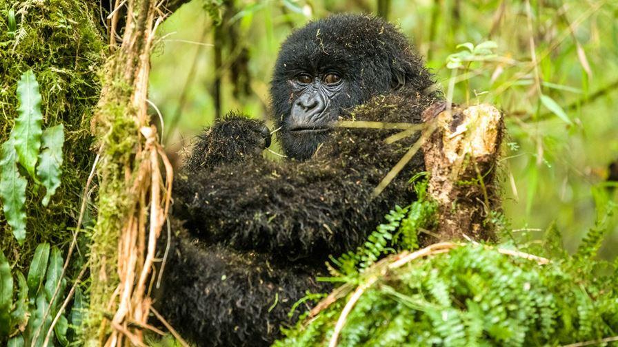 3 Days Buhoma Gorilla Trekking