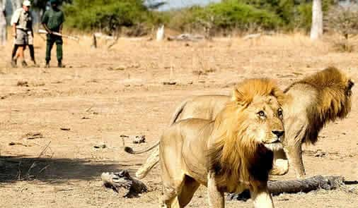 traveller tracking lions on foot