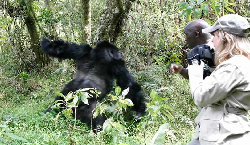 Tourist in close contact with a silverback mountain gorilla in bwindi forest