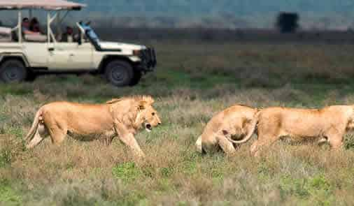 Tourist watching lions during a morning game drive on a lion trip