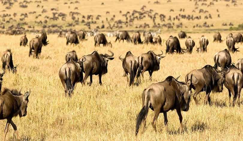 Wilderbeests grazing on the masai mara plains