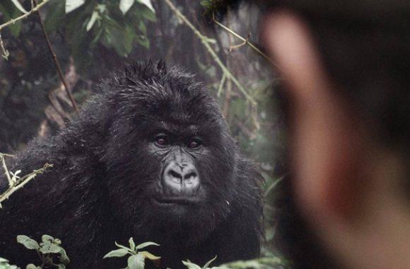 tourist meets gorilla face to face during a gorilla tracking safari